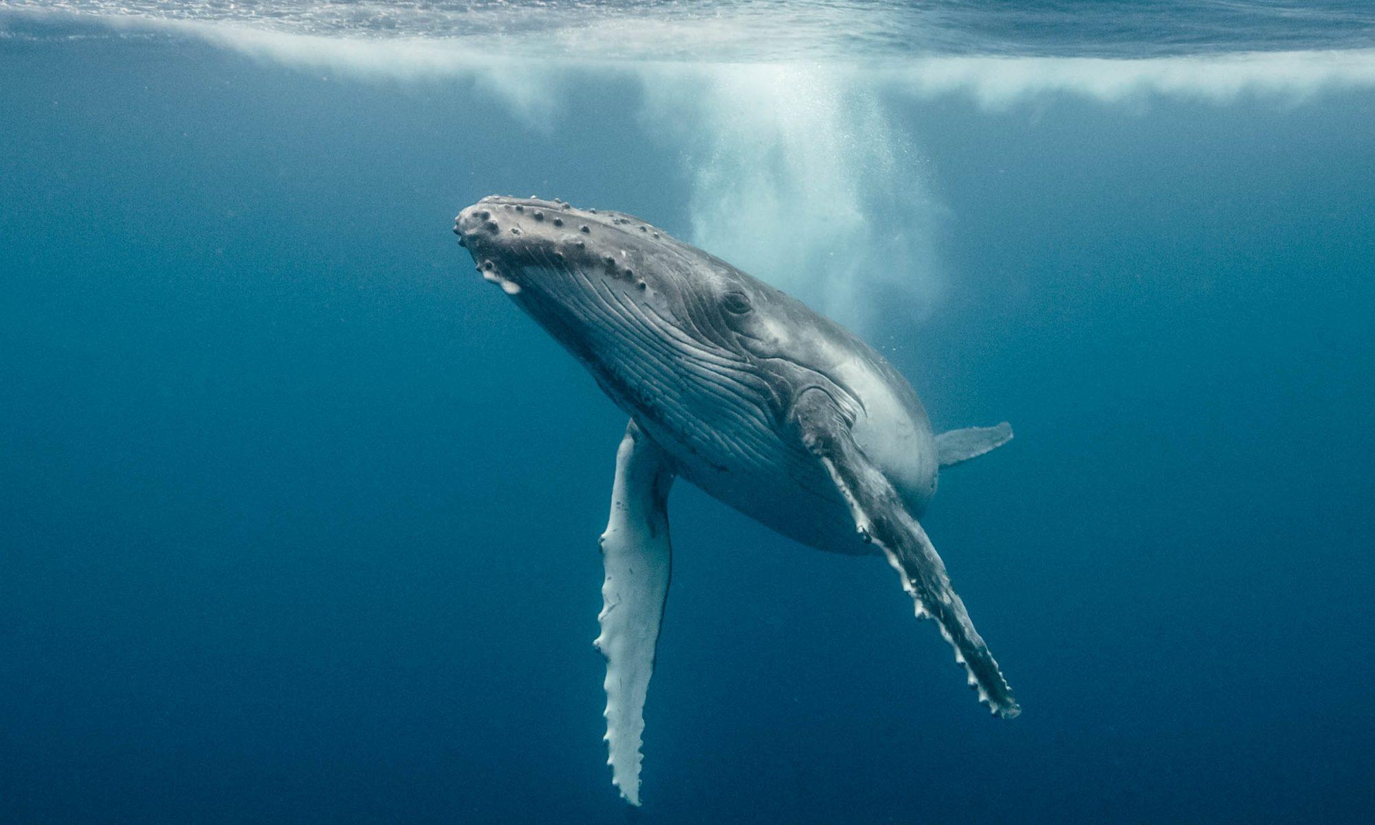 Whales underwater