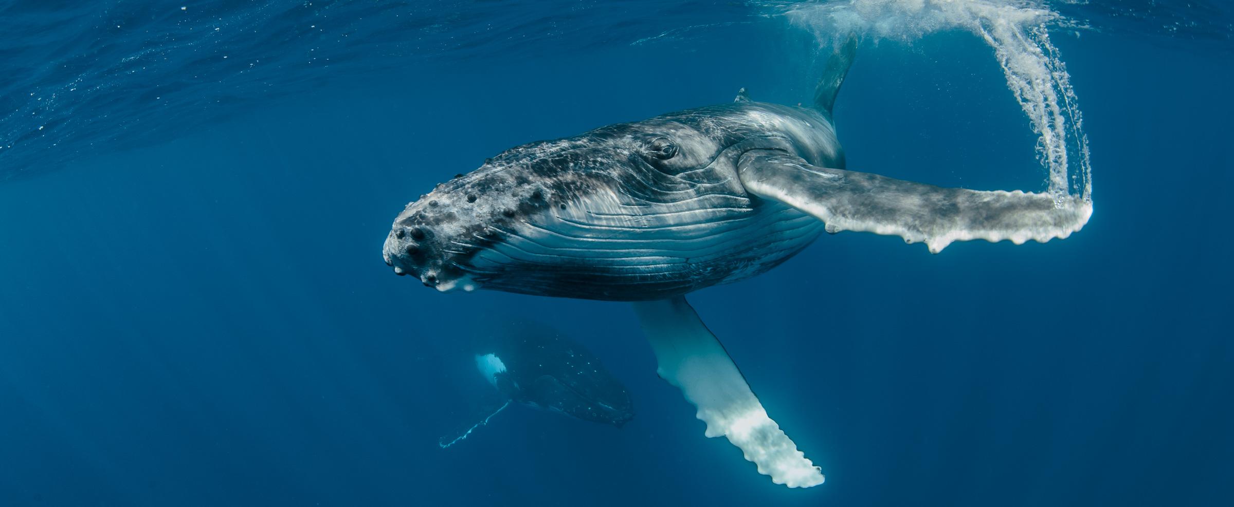 whales-underwater-20140905_0865