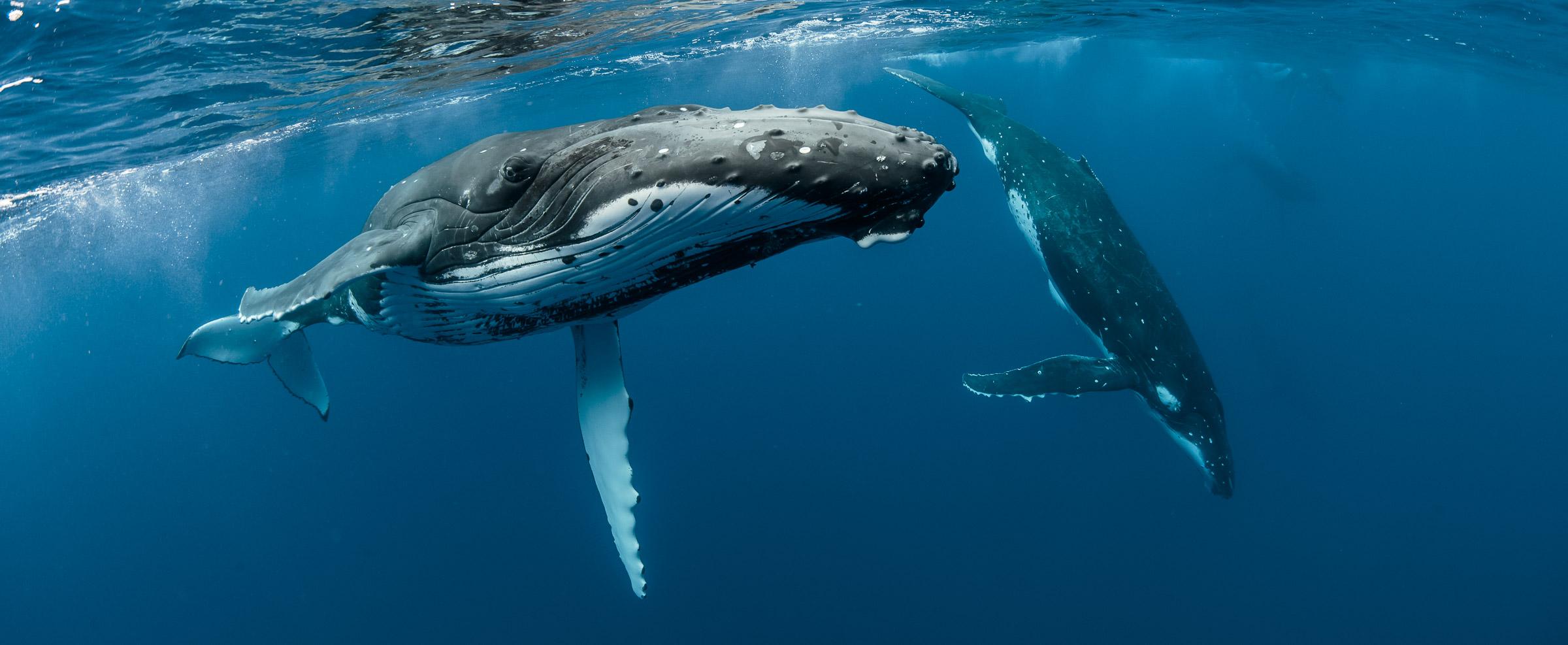whales-underwater-20140908_3698