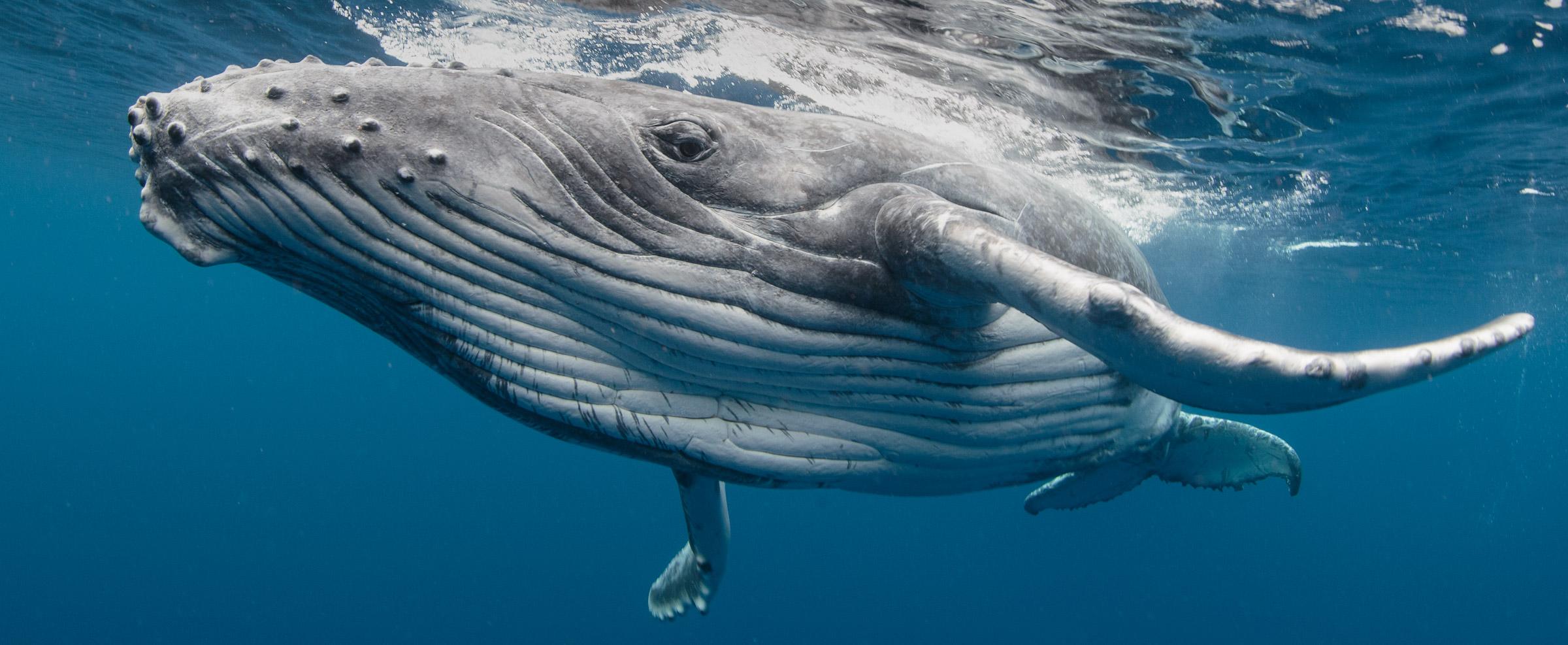 whales-underwater-20150810_9351_darrenjew