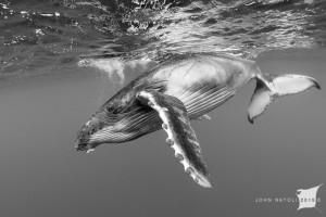 whales-underwater-john-natoli-DSC3867