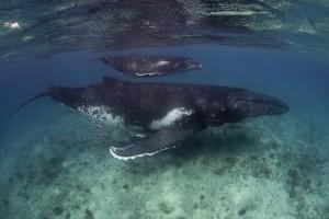 whales-underwater-john-natoli-DSC8223