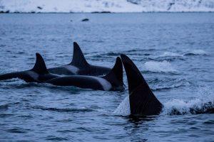 Whales under water 20161211_07213