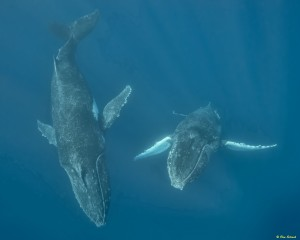 whales-underwater-don-silcock-Mature Whales