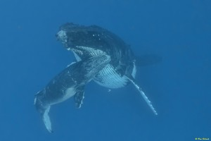 whales-underwater-don-silcock-Mother & calf_1
