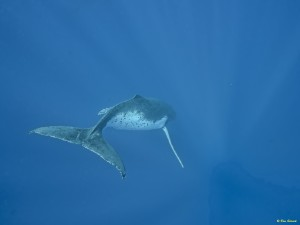 whales-underwater-don-silcock-Singer
