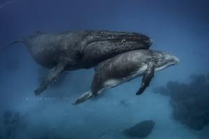 whales-underwater-john-natoli-DSC7955